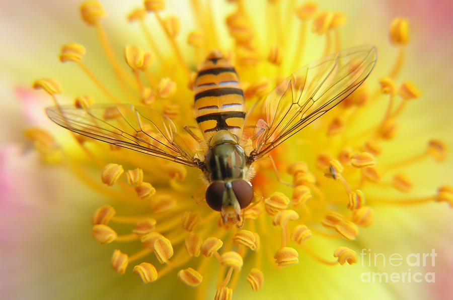 Macro Photograph - Fruit Fly On A Rose by Anette Linnea Rasmussen
