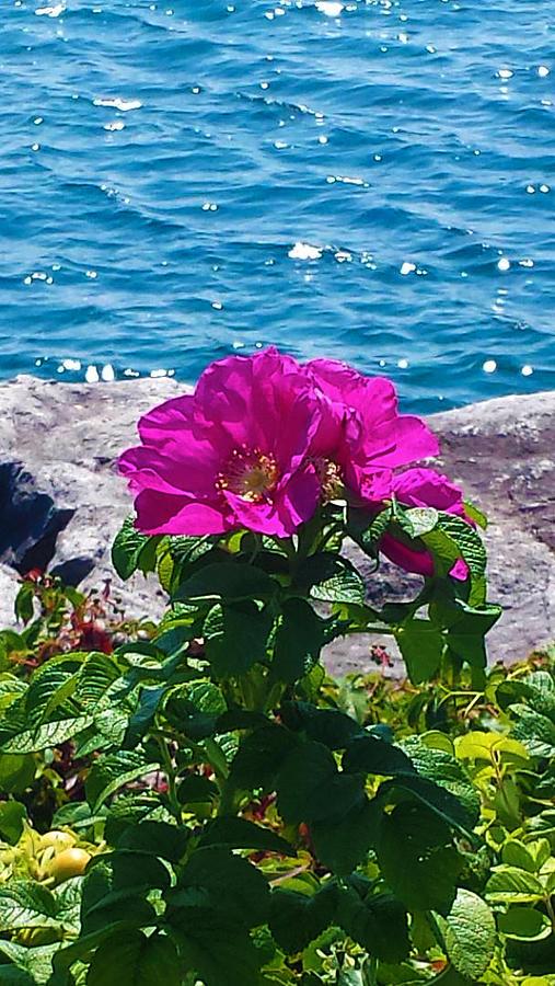 Fuchsia Flower by Kingsley Krafts
