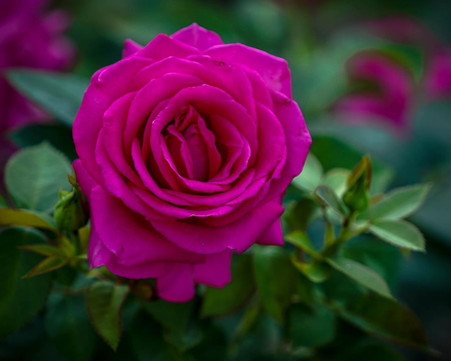 Fuchsia Rose by Susan Rydberg