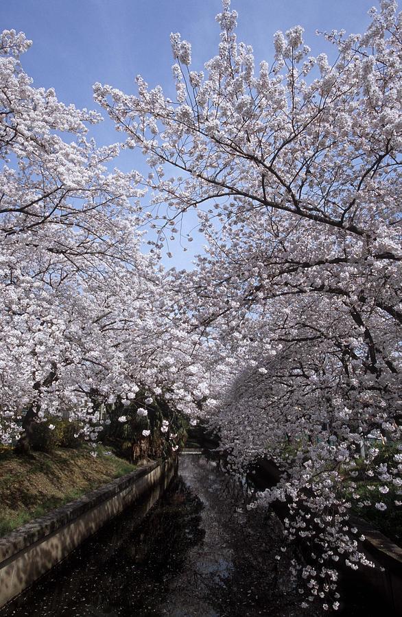 Full Bloom Cherry Blossoms Near River Photograph by Huzu1959