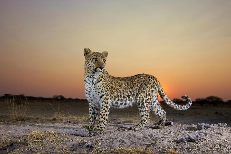 Full Length View  Of  Leopard Panthera Photograph by Heinrich Van Den Berg