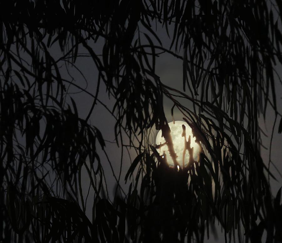 Full Moon Gum Tree Leaf Silhouette by Joan Stratton