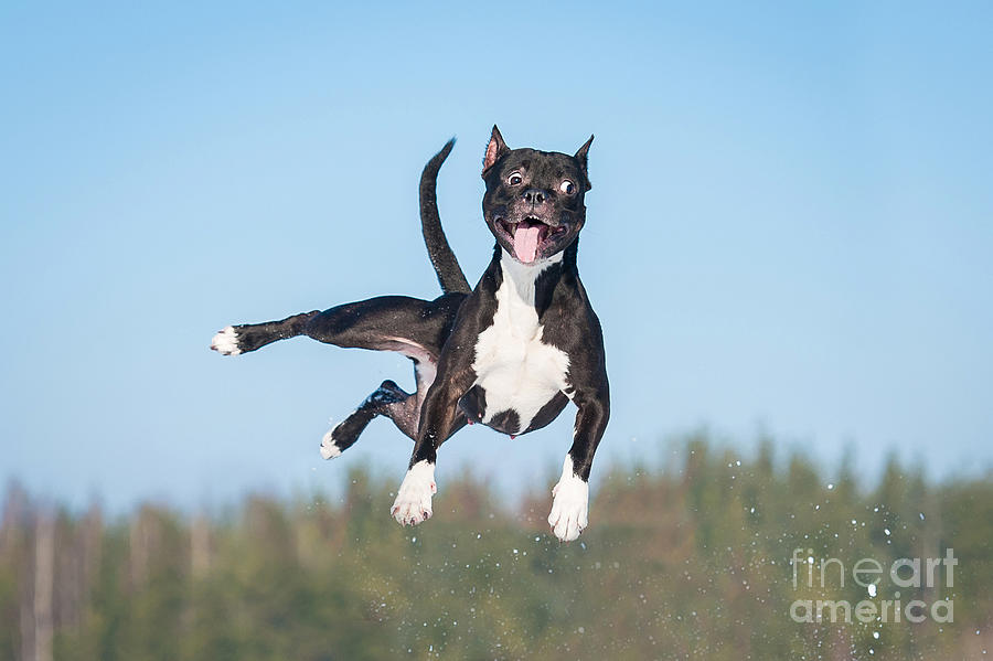 Muscular Photograph - Funny American Staffordshire Terrier by Grigorita Ko