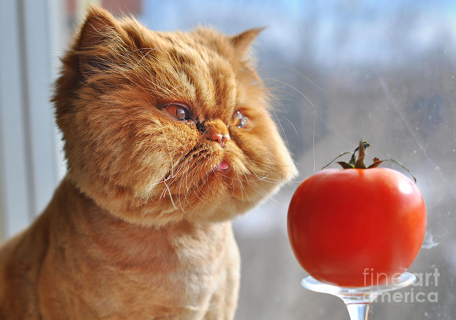Fur Photograph - Funny Cat And Red Tomato by Zanna Pesnina