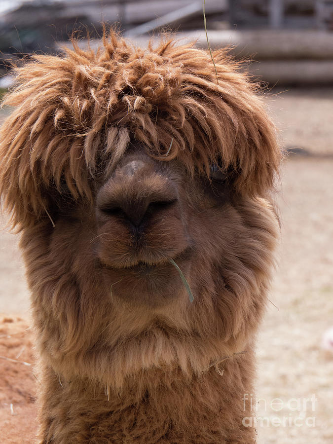 Funny Faced Alpaca by Christy Garavetto