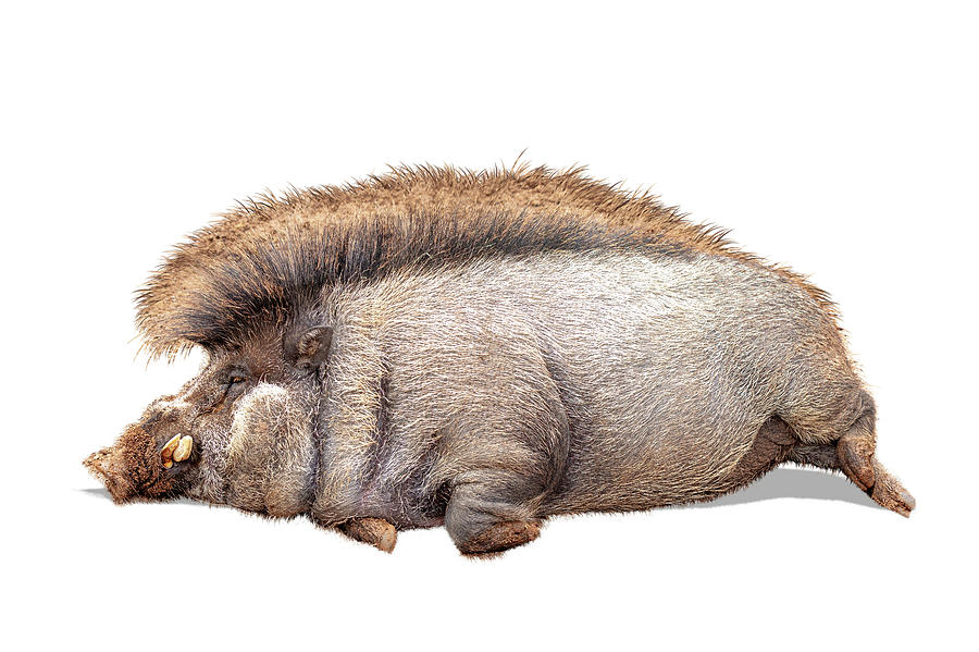 Funny Lazy Warty Pig Extracted by Susan Schmitz
