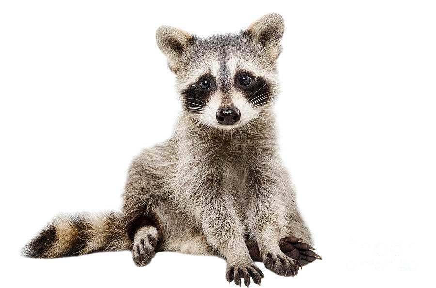 Pets Photograph - Funny Raccoon Sitting Isolated On White by Sonsedska Yuliia