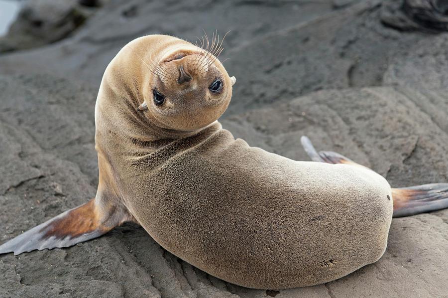Fur Seal Otariidae Looking Back Upside Photograph by Keith Levit / Design Pics