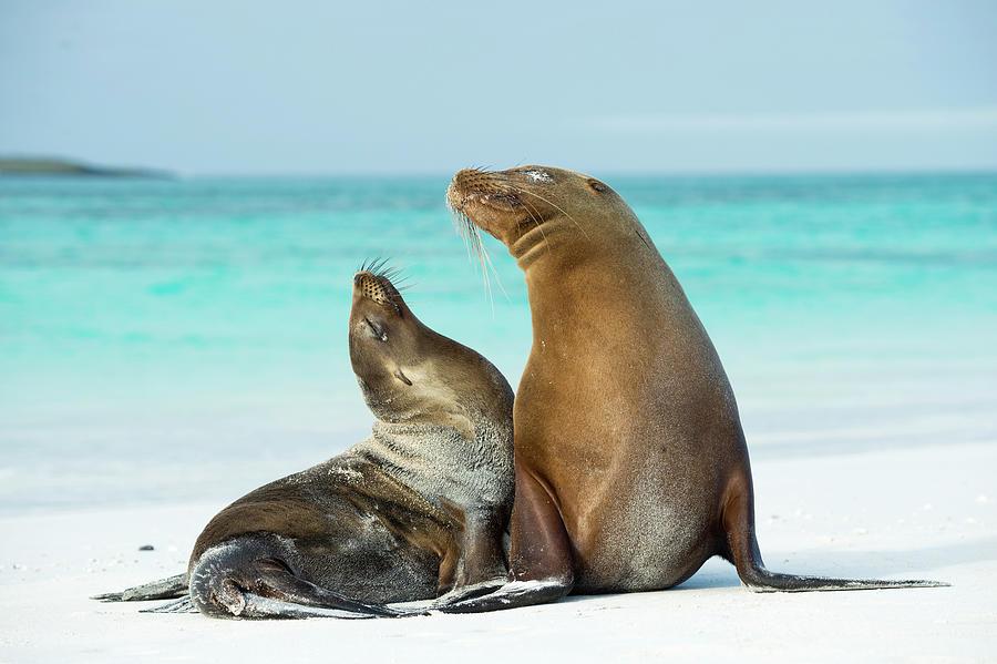 Galagagos Sea Lion Pair On Beach Photograph by Tui De Roy