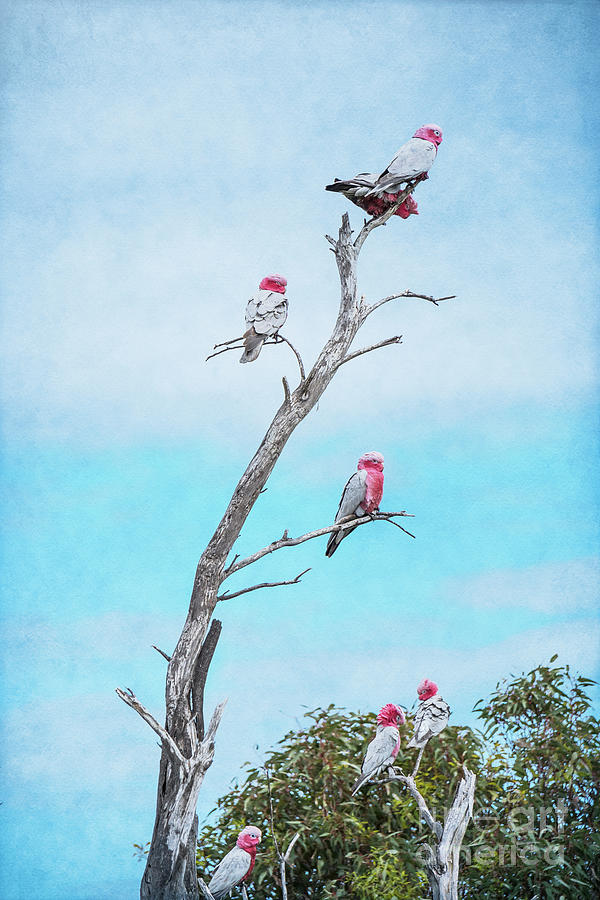 Galahs on the Lookout by Elaine Teague