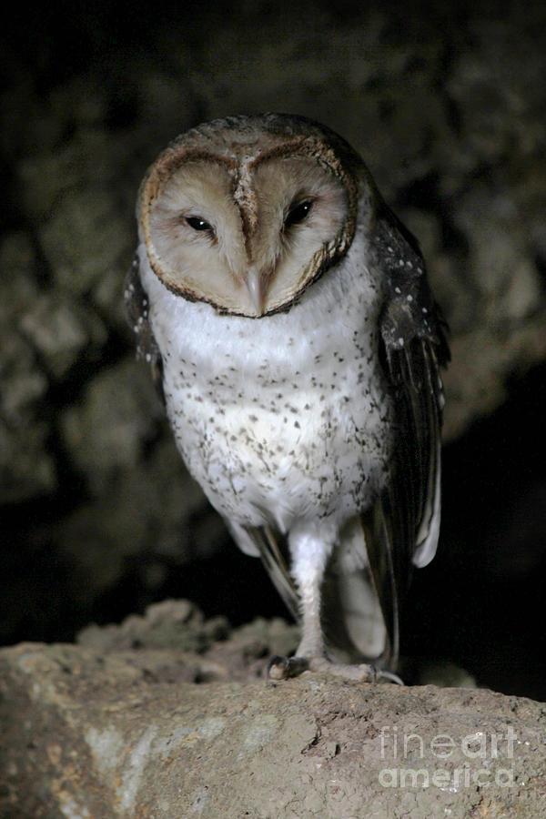 Galapagos Barn Owl by Catherine Sherman