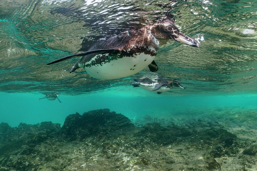 Galapagos Penguin Trio Foraging Photograph by Tui De Roy