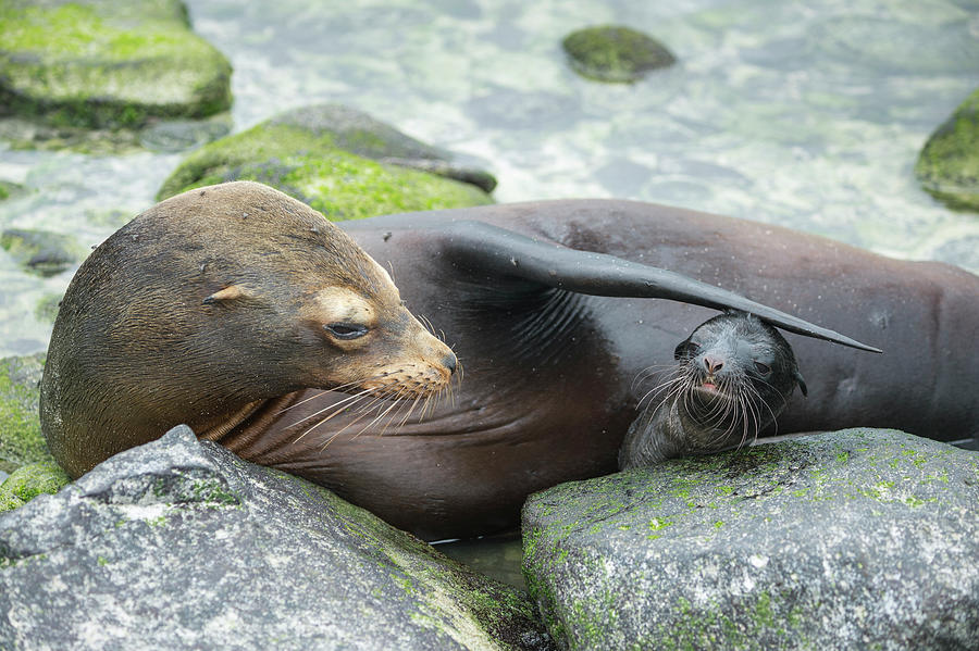 Galapagos Sea Lion Bonding With Newborn Pup Photograph by Tui De Roy