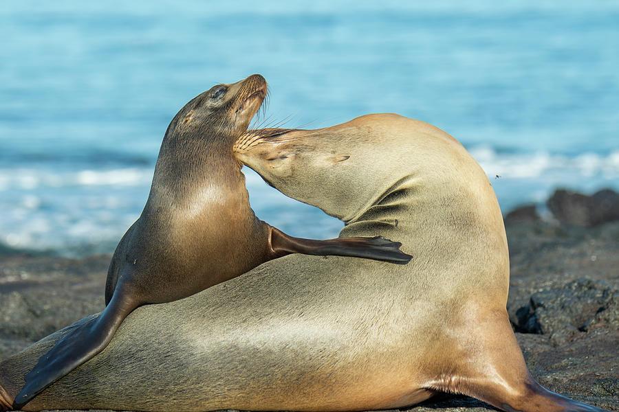 Galapagos Sea Lion Females Bonding Photograph by Tui De Roy