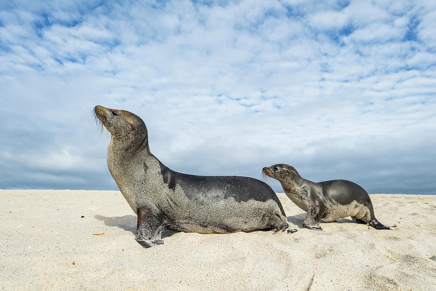 Animal Photograph - Galapagos Sea Lion Mother And Pup by Tui De Roy