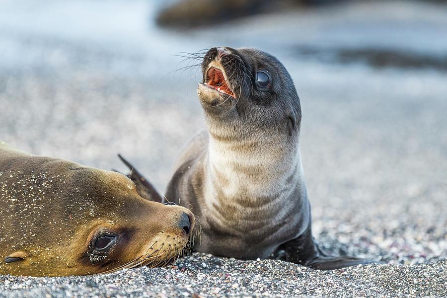 Galapagos Sea Lion Pup Calling Mother Photograph by Tui De Roy