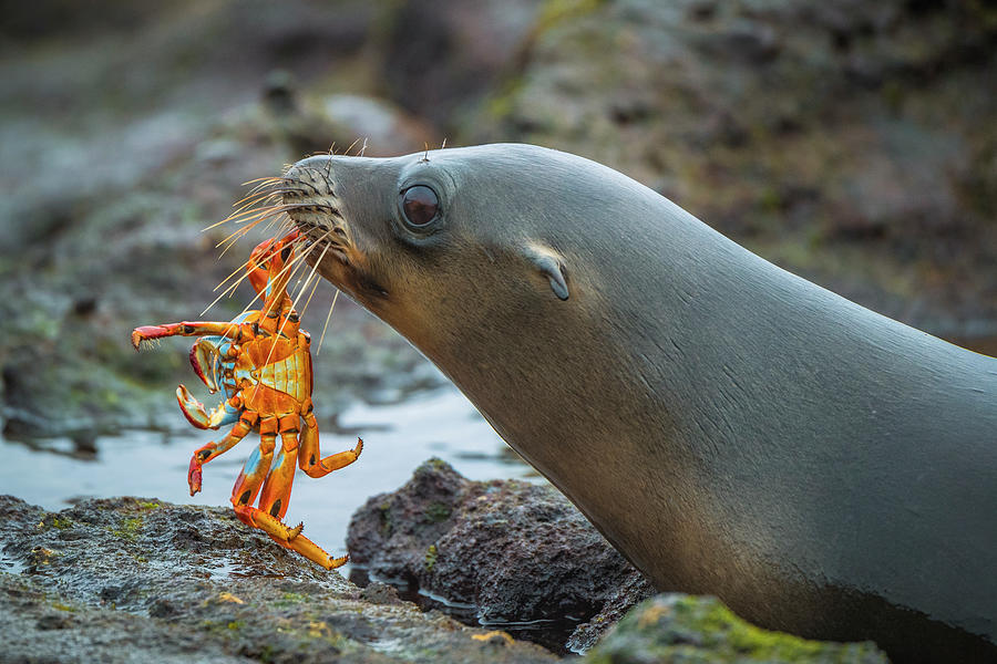 Galapagos Sea Lion With Sally Lightfoot Photograph by Tui De Roy