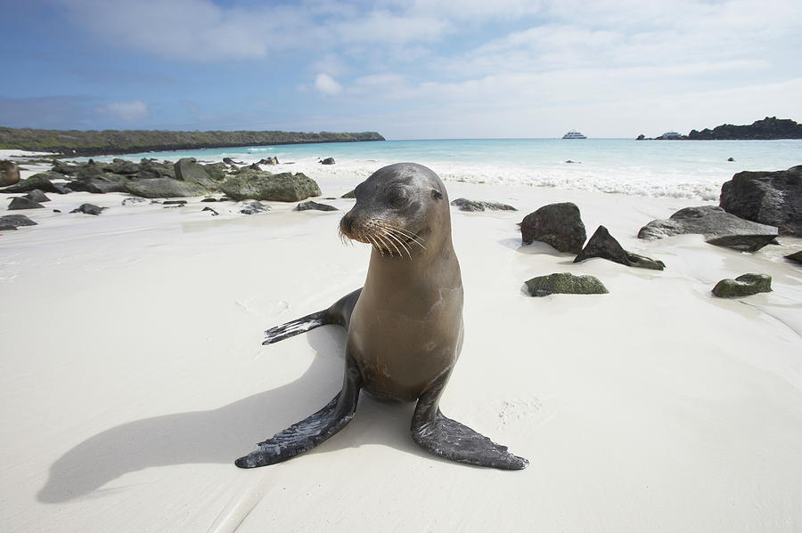 Galapagos Sea Lion Zalophus Photograph by Paul Souders