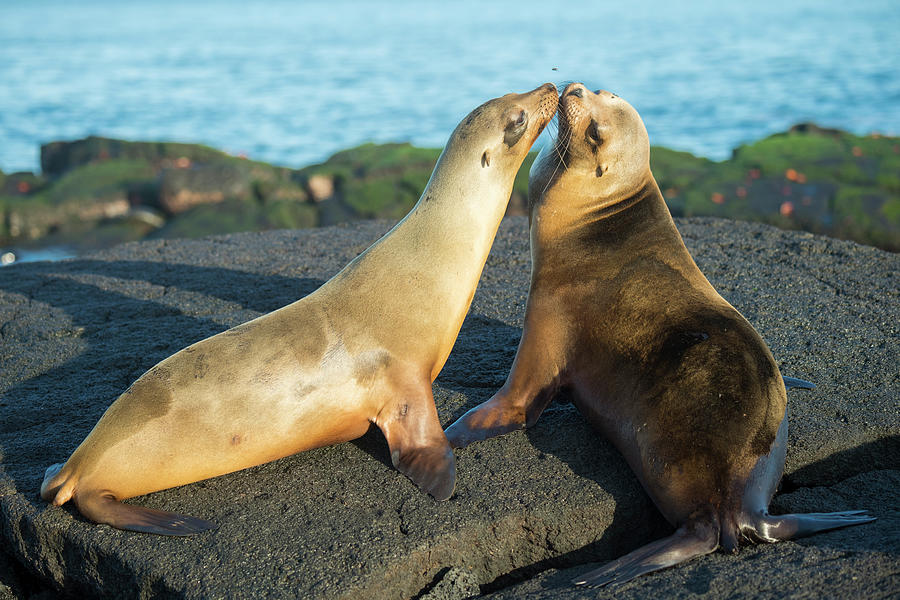 Galapagos Sea Lions Greeting Photograph by Tui De Roy