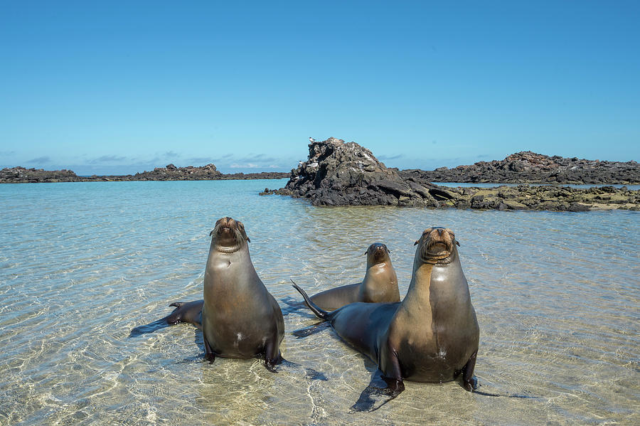 Galapagos Sea Lions In Cove Photograph by Tui De Roy