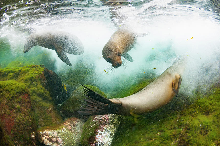 Galapagos Sea Lions Playing Underwater Photograph by Tui De Roy