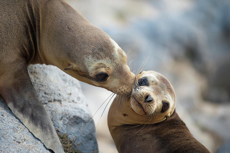 Galapagos  Sealion Nuzzling Her Pup Photograph by Tui De Roy