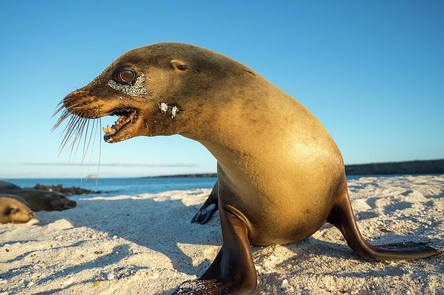 Galapgos Sea Lion On Moquera Island Photograph by Tui De Roy