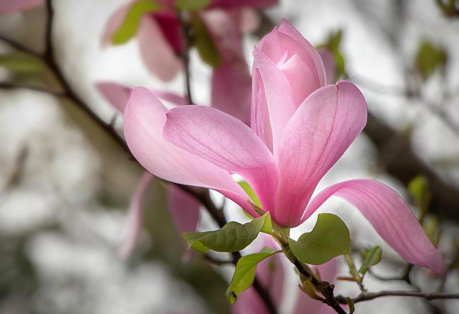Galaxy Magnolia Bloom by TL Wilson Photography by Teresa Wilson