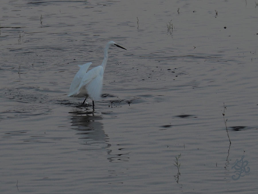 Galilee Fishing Egret by Ginger Repke