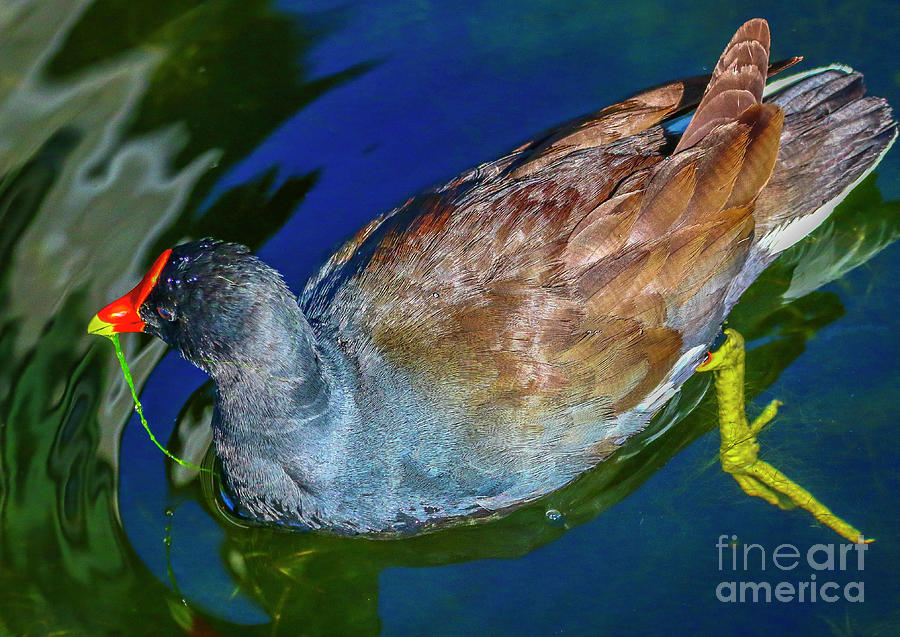 Gallinule with Grass by Tom Claud