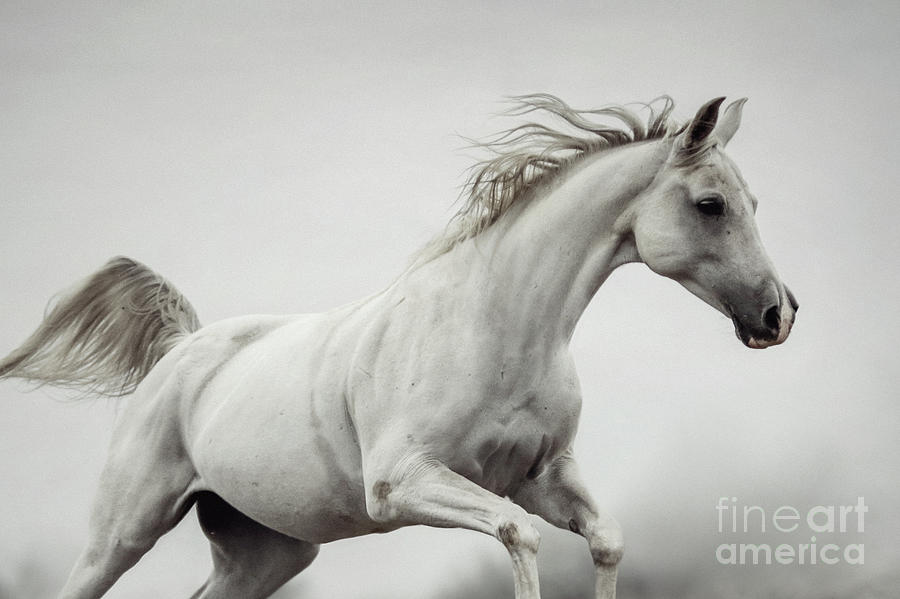 Galloping White Horse by Dimitar Hristov