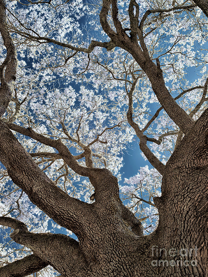Galveston Live Oak In Infrared Photograph