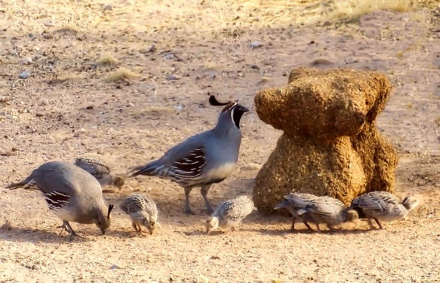 Gambel's Quail Family by Judy Kennedy