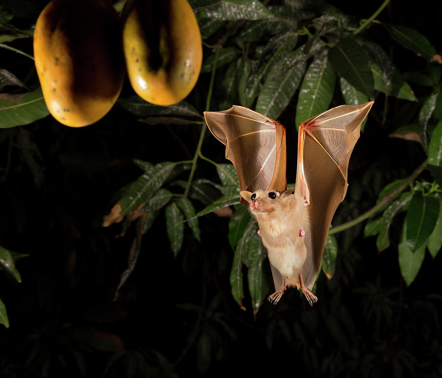 Africa Photograph - Gambian Epauletted Fruit Bat by Ivan Kuzmin