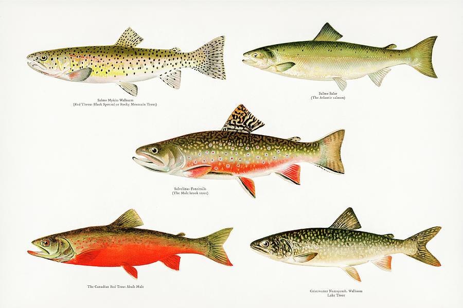 Game Fish Of America Drawing