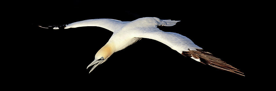 Gannet in flight. 3.1 by Grant Glendinning