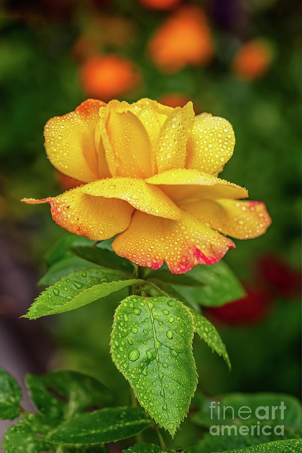 Garden Rose by Adrian Evans