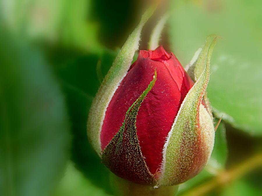 Rose Photograph - Garden Series - I V by Arlane Crump