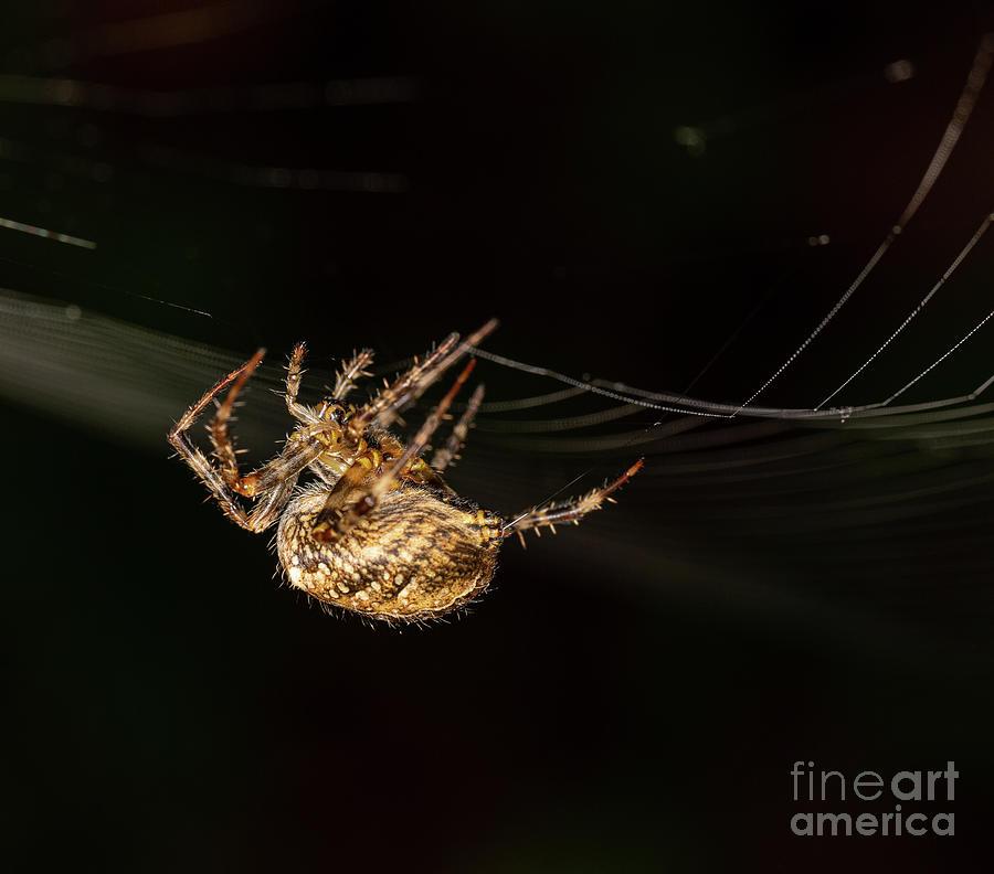 Garden Spider by Brian Roscorla