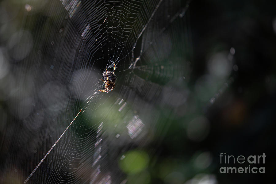Garden Spider in Web by Brian Roscorla