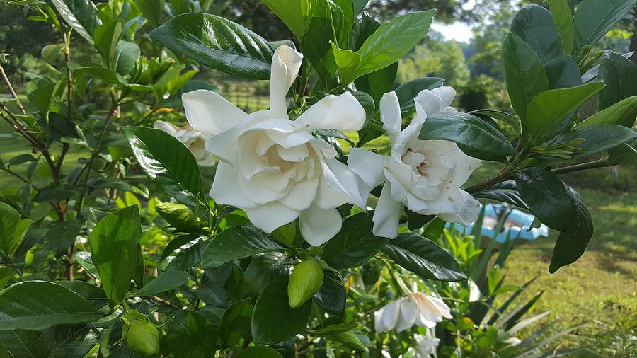 GARDENIA COUNTRY PEEK by Pamela Smale Williams