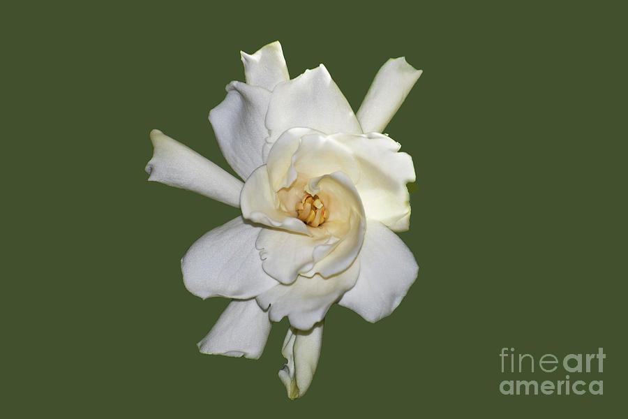 Gardenia on Green by Patti Whitten