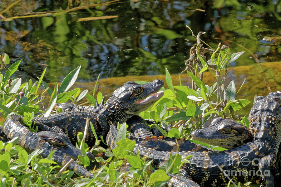 Alligators Photograph - Gator Brood by Natural Focal Point Photography