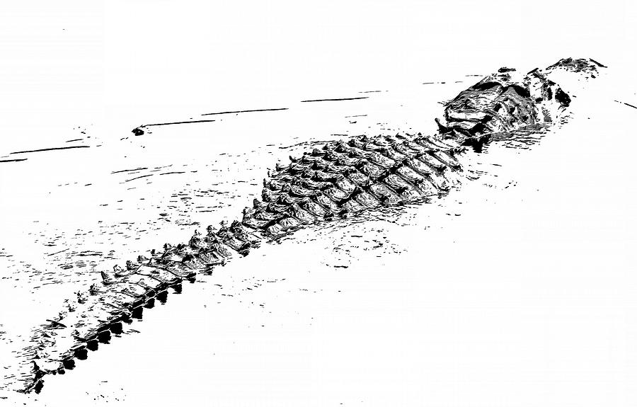 Alligator Photograph - Gator Crossing by Michael Allard