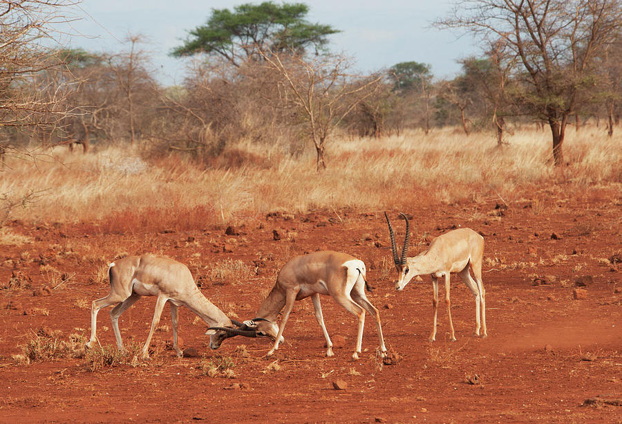 Gazelles In Conflict Using Their Photograph by Diane Levit / Design Pics