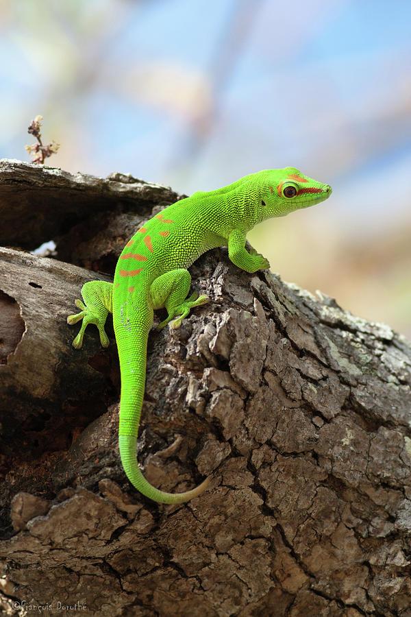 Gecko Géant De Madagascar  Giant Green Photograph by François Dorothé