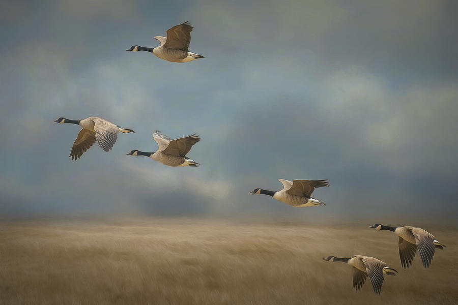 Geese, Coming in for a Landing by Cindy Lark Hartman