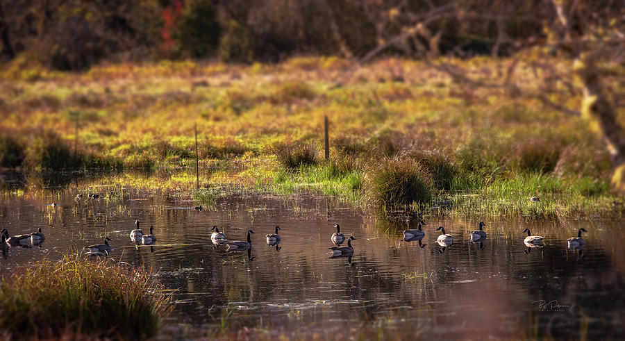 Geese Gathering by Bill Posner