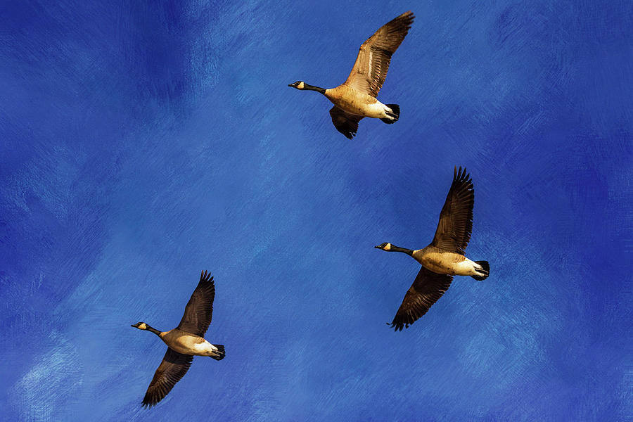 Geese in Flight by Allin Sorenson