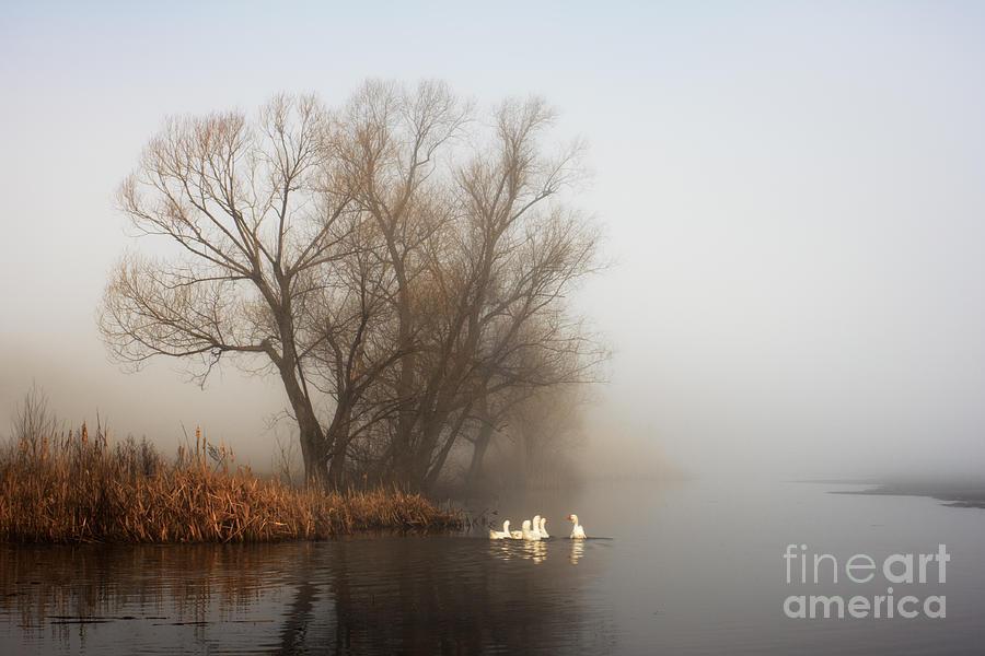 Flock Photograph - Geese In Fog. Flock Of Birds Swims Near by Arvitalyaa